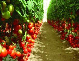Какие томаты лучше посадить в теплице