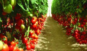 Миниатюра к статье Какие томаты лучше посадить в теплице в Подмосковье в 2020 году: сорта и их описание