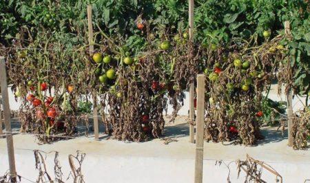 бактериальное увядание томата