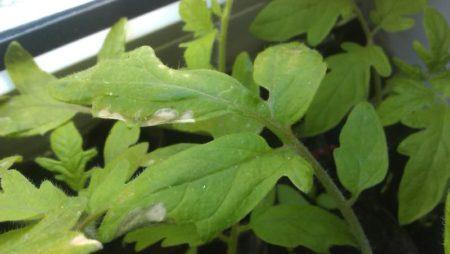 белые пятная на листьях томата