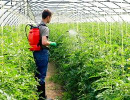 мужчина обрабатывает томаты в теплице