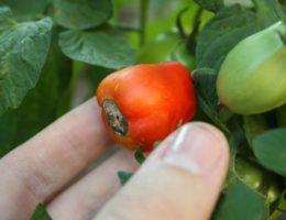 почему чернеют помидоры снизу