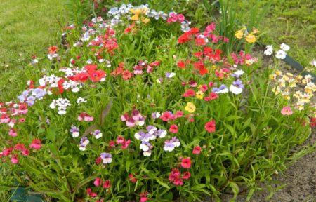 Цветок Немезия