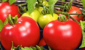 Миниатюра к статье Ранние детерминантные сорта томатов устойчивые к фитофторе