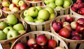 Миниатюра к статье Вкусные сорта поздних яблонь для разных регионов России