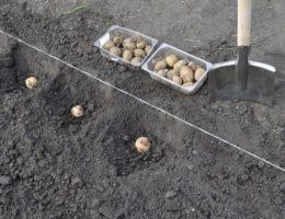 Когда сажать картофель по лунному календарю
