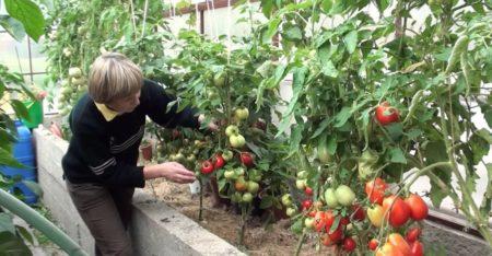 когда снимать томаты