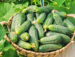 Новые сорта огурцов сибирской селекции