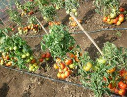 Уход за томатами в открытом грунте: 15 главных советов и секретов от садоводов