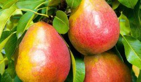 Миниатюра к статье Какие сорта груш созревают осенью