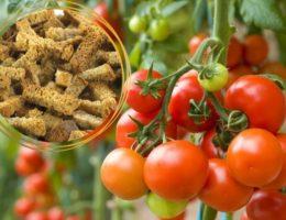 подкормка из сухарей для томатов