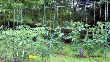 podvjazka tomatov