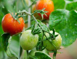 помидоры без вредителей