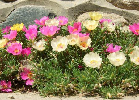 Растение Портулак
