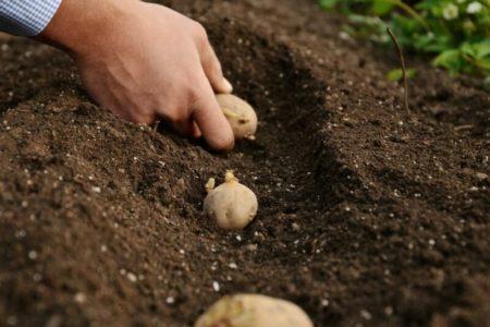 Сажать картофель без лопаты