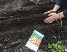 посев морковных семян