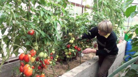 болезнь томатов