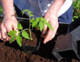 пересадка рассады томатов в апреле