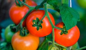 Миниатюра к статье 10 лучших сортов томатов от агрофирмы «СеДеК»