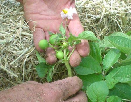 semena-kartofelja