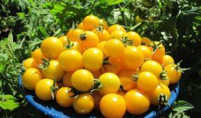 Миниатюра к статье Желтые сладкие томаты, какие выбрать?
