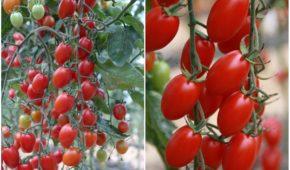 Миниатюра к статье 4 сорта ранних томатов, которые удивят урожайностью и вкусом