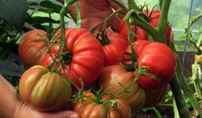 Миниатюра к статье Какие сорта томатов лучше сажать в Ленинградской области?