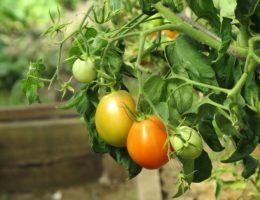 Выращивание помидоров без полива