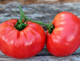 Рекомендованные сорта томатов универсального назначения