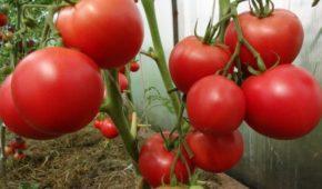 Миниатюра к статье Самые устойчивые к фитофторозу сорта томатов
