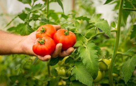 сбор томатов