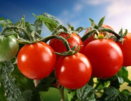 голландские сорта томатов