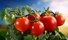 Миниатюра к статье Лучшие голландские суперранние сорта томатов
