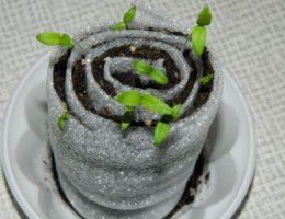Выращивание томатов в ракушке