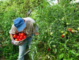 мужчина собирает томаты