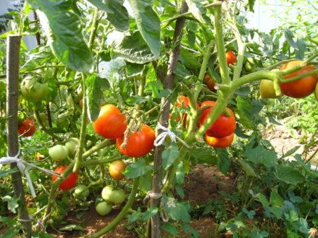 томаты в августе