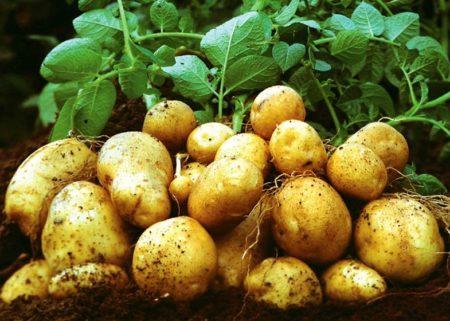 картофель по методу митлайдера