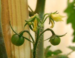 завязь томатов
