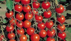 Миниатюра к статье Сорта томатов устойчивые к фитофторе