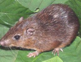 zemljanaja krysa